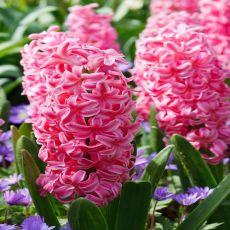 Hyacint rosa, Pink Pearl, lökar, hyacintlökar