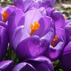 Vårkrokus Remembrance, purpurviolett, höstlök