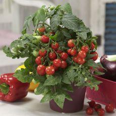 Tomatplantor Ponchi