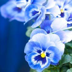 Våra Viola kommer i mixade färger