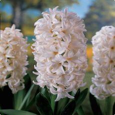 Hyacint vit, White Pearl, lökar, hyacintlökar, jul