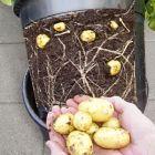 Potatiskruka Potato Pot och minipåse sättpotatis Casablanca - PAKET (Ord. pris 118 kr)