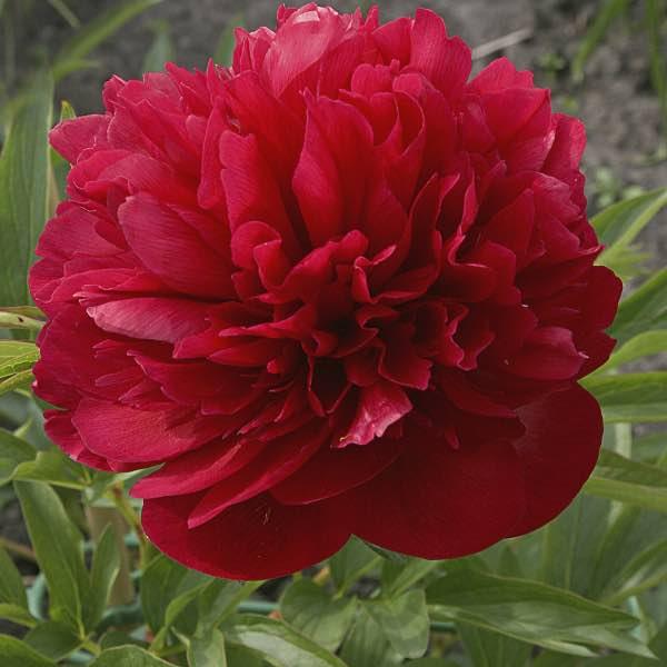 röda blommor namn
