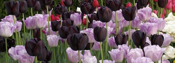 Tulpaner - en guide till plantering av tulpanlökar och odling av tulpaner