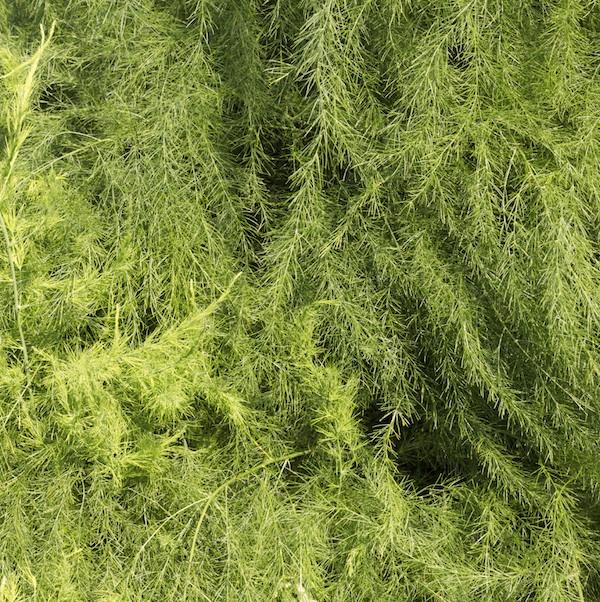 Sparrisplantans bladverk